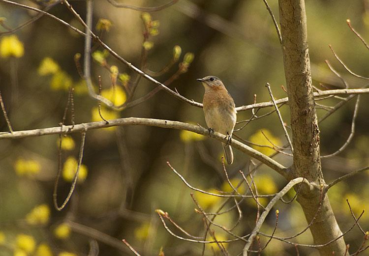 Blue Bird Nest Box April Update