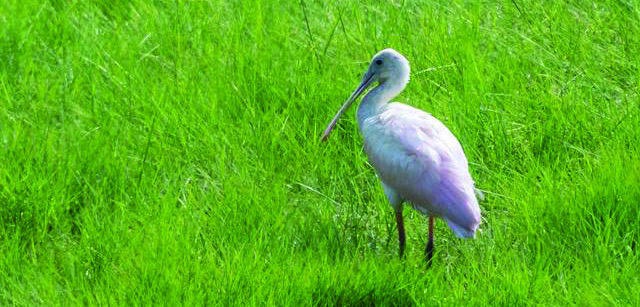First Record of Roseate Spoonbill on Long Island
